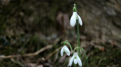 Close up of snowdrops blown by wind Stock Footage