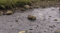 Salmon spawning, drought Stock Footage