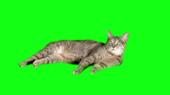 Cat Lying down Resting in front of Green Screen Chroma Key Backdrop Stock Footage