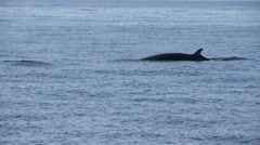 Minke whale Stock Footage