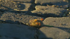 Insects on a Roman pebbled road (slomo) Stock Footage