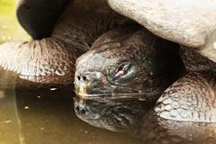 Submerged Galapagos Turtle Low Angle View Stock Photos