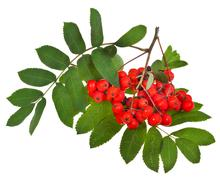 Rowan berries and green leaves Stock Photos