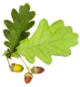 Oak leaves and acorns isolated Stock Photos