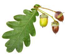 Green oak leaf and acorns Stock Photos