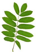 Stock Photo of green spig of rowan tree