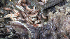 Maggots feasting Stock Footage