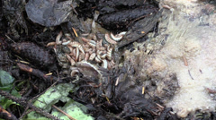 Maggots squirming Stock Footage