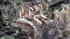 Maggots, lifecycle Stock Footage