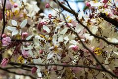 wishing tree, pink showe, cassia bakeriana craib, beneath a tree flowering pi - stock photo