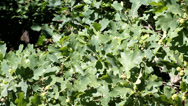 Stock Video Footage of green oak tree with a crop of ripening acorns in the summer