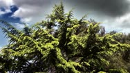 Stock Video Footage of conifer with a beautifull clouds behind