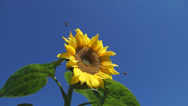 Stock Video Footage of Bright yellow sunflower against blue sky