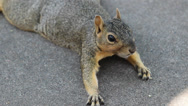 Stock Video Footage of Close-up of American Squirrel 4