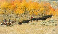 Horseback riders herding cattle Stock Photos