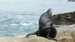 California Sea Lion on rock HD 9482 Stock Footage