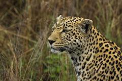 Panthera pardus Stock Photos