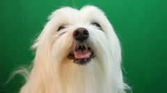 Maltese Puppy Dog Wags Tail Stock Footage