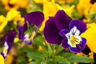 Stock Photo of tricolor violet