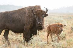 Bison and Calf, Yellowstone Stock Photos