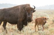 Stock Photo of Bison and Calf, Yellowstone