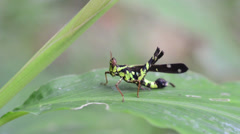 Cricket on a grass spikelet after rain Stock Footage