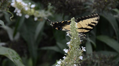 Eastern Tiger Swallowtail Stock Footage