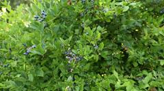 Camera Dolly, Blueberry Bush Stock Footage