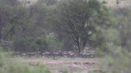Stock Video Footage of wildebeests migrate among big trees, true 240FPS slo mo