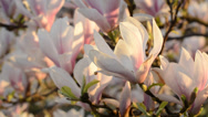 Stock Video Footage of magnolia in blossom