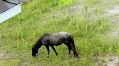 Wild black stallion grazing outer banks nc Stock Footage