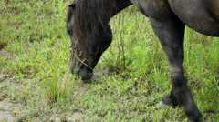Close up wild black stallion grazing outer banks nc 2 Stock Footage