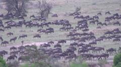 Africa, wildebeest migration on the Serengeti, true 240FPS Slo mo Stock Footage
