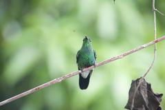Hummingbird perched on a branch minca colombia Stock Photos