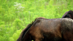 Sandy back of wild foal grazing outer banks nc Stock Footage
