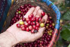 Coffe beans san agustin colombia Stock Photos