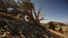 Bristlecone Pine 12 Dolly Right Down Ancient Forest White Mountain California - stock footage
