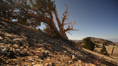 Bristlecone Pine 13 Dolly Left Up Ancient Forest White Mountain California - stock footage