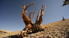 Bristlecone Pine 14 Dolly Left Down Ancient Forest White Mountain California. Stock Footage