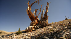 Bristlecone Pine 15 Dolly Right Up Ancient Forest White Mountain California - stock footage