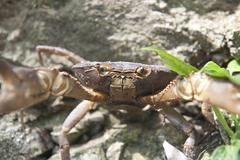 Freshwater crab facing the camera minca colombia Stock Photos