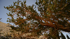 Bristlecone Pine 16 Dolly In and Down Ancient Forest White Mountain Californi Stock Footage