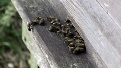 Honey Bees arriving and flying from entrance to wooden National Hive Stock Footage