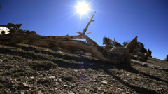 Bristlecone Pine 19 Dolly Right Up Ancient Forest White Mountain California Stock Footage