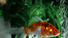Close up shot of a gold fishes in a fish tank Stock Footage