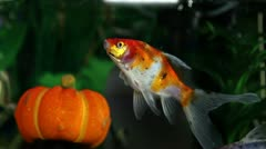 Shot of a gold fish in a fish tank Stock Footage