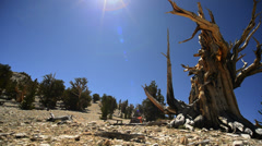 Bristlecone Pine Circular Dolly 05 Left Ancient Forest White Mountain Califor Stock Footage