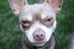 Chihuahua Death Stare - stock photo
