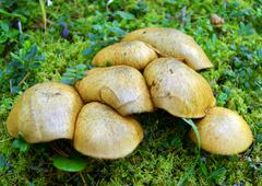 much mushrooms slippery jack in wood - stock photo