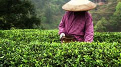 Woman farm worker is picking tea leaves. Stock Footage